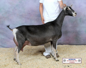 SGCH Redwood Hills X-Rated Rima--2 x's National Champion; Jazz's granddam